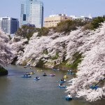 九段から近い桜の名所. Most famous and close Sakura place from Kudan.
