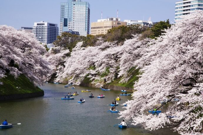 九段から近い桜の名所. Most famous and close Sakura place from Kudan.