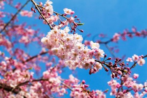 How to search the best time for Cherry Blossoms
