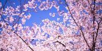 Chidorigafuchi in Spring