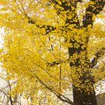 白山通りの銀杏  白山大路上的银杏 ginkgo