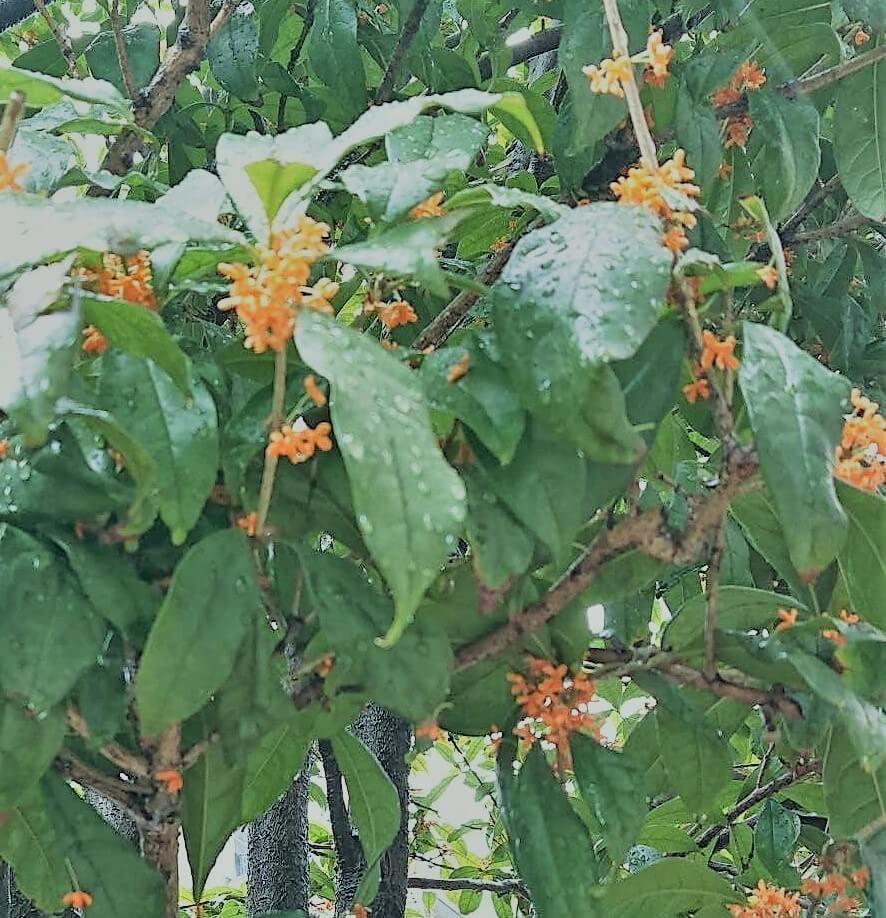 秋の香り-金木犀  One of the smells of autumn in Japan  秋天的滋味